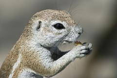 unstriped ground squirrel (xerus rutilus) feeding on a cracker, etosha nation - stock photo