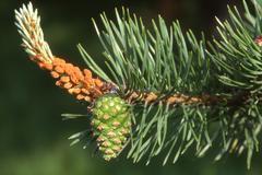 Stock Photo of detail, pine cone, scots pine (pinus sylvestris), tirol, austria
