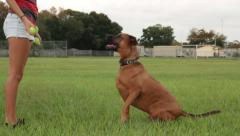 Obedience training dog playing park Stock Footage