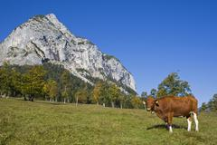 cow (bovinae) standing on a mountain meadow, eng, ahornboden region, karwende - stock photo