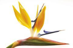 Stock Photo of bird of paradise flower (strelitzia reginae)