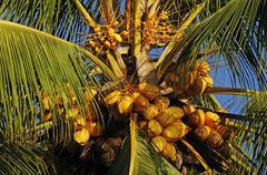 Stock Photo of coconut palm, cocos nucifera, costa rica, central america