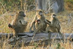 Stock Photo of yellow baboons (papio cynocephalus) with babys sitting on a trunk, moremi nat