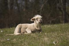 Cross between a blackhead persian sheep (ovis aries steatopyga persica) and m Stock Photos