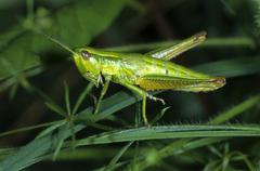 Small gold grasshopper (chrysochraon brachyptera), acrididae family, female Stock Photos