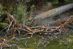 Petrified tree trunks, geothermal region, rotorua, north island, new zealand, Stock Photos