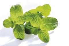 spanish mint (mentha spicata) - stock photo