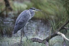 grey heron (ardea cinerea), juveline. - stock photo