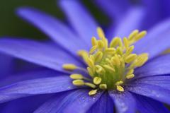 Stock Photo of detail, greek windflower (anemone blanda) blossom, stamen