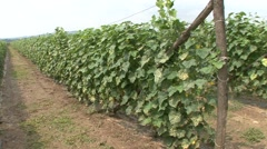 Stock Video Footage of Cucumbers in a field