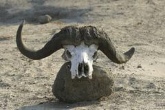 Skull from an african buffalo or cape buffalo (syncerus caffer), chobe nation Stock Photos