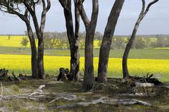 gum tree (eucalyptus) trunks in front of blossoming rape or canola fields, we - stock photo
