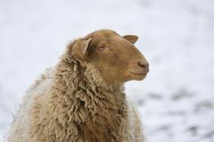 Coburg fuchsschaf, breed of domestic sheep (ovis gmelini aries) Stock Photos