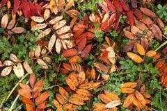 Autumn leaves of european rowan (sorbus aucuparia) covering the forest floor, Stock Photos
