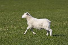 Domestic sheep, lamb jumping and running on a field (ovis aries) Kuvituskuvat