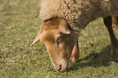 Coburger fuchsschaf or coburg sheep, breed of domestic sheep (ovis aries) Stock Photos