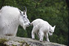 Stock Photo of mountain goat mother with kid, oreamnos americanus, captive