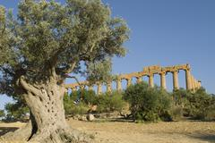 Old olive tree growing in front of the temple of hera, valle dei templi, agri Stock Photos