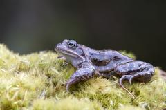 European common brown frog (rana temporaria), kelchsau, tirol, austria Stock Photos