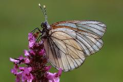 black-veined white butterfly (aporia crataegi) perched on a blossom, filz nea - stock photo