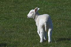Ewe lamb - young domestic sheep (ovis ammon f. aries ) Kuvituskuvat