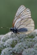 black-veined white butterfly (aporia crataegi), filz near woergl, tyrol, aust - stock photo