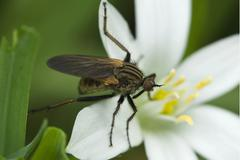 Robberfly (machimus sp.) perched on star-of-bethlehem or grass lily (ornithog Stock Photos