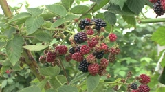 Ripe and unripe blackberries - stock footage