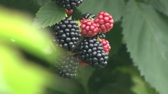 Ripe and unripe blackberries close up - stock footage