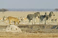 Stock Photo of lioness (panthera leo) on a termites hill with springboks (antidorcas marsupi
