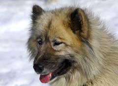 Alaskan malamute, sledge dog, sled dog Stock Photos