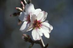 flower of almond tree (amygdalus communis), canary islands - stock photo