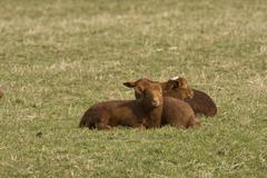 Coburger fuchsschaf or coburg sheep, breed of domestic sheep (ovis aries) Kuvituskuvat