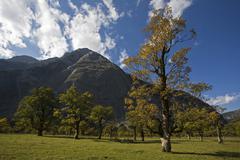 Stock Photo of sycamore maple (acer pseudoplatanus), eng, ahornboden region, karwendel range