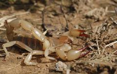 Scorpion (timogenes elegans) defending itself, gran chaco, paraguay, south am Stock Photos
