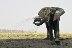 African elephant (loxodonta africana) takes a mud bath, chobe national park,  Stock Photos
