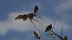 Buzzard birds in dead tree blue sky HD 115 Stock Footage