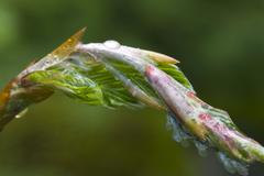 newly grown or freshly sprouted leaves, riedener see, lechtal, tyrol, austria - stock photo