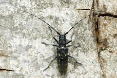 longhorn beetle species (monochamus sartor), female, schwaz, tyrol, austria,  - stock photo