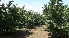Hazel bushes in the orchard - stock footage