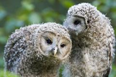 ural owls (strix uralensis), young cleaning their plumage, bavaria, germany,  - stock photo