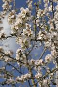 blossoming almond tree (prunus dulcis, prunus amygdalus) near binissalem, maj - stock photo