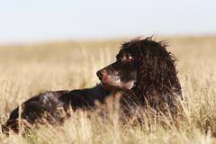 Stock Photo of german spaniel or deutscher wachtelhund, breed of hunting dog
