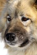 moist nose of an alaskan malamute, sledge dog, sled dog - stock photo