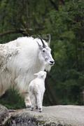 Mountain goat (oreamnos americanus), female adult with kid, zoo, germany Stock Photos