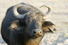 african buffalo or cape buffalo (syncerus caffer), chobe national park, botsw - stock photo