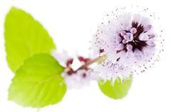 detail, water mint (mentha aquatica, mentha hirsuta), violet blossoms - stock photo