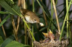 Reed warbler (acrocephalus scirpaceus), family sylviidae, removing feces from Stock Photos