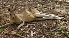 Eastern grey kangaroo (macropus giganteus), tasmania, australia Kuvituskuvat