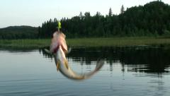 Fishing - Fresh water fish dangling from fishing pole Stock Footage
